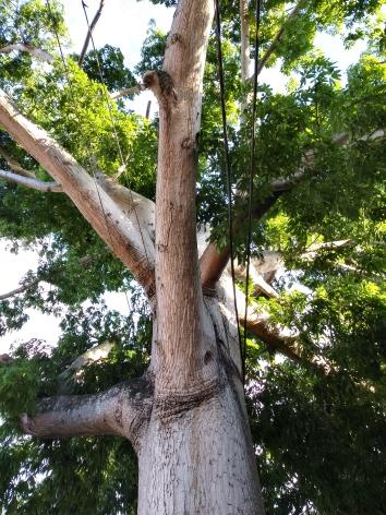 La Ceiba Puerto Rico Tree G